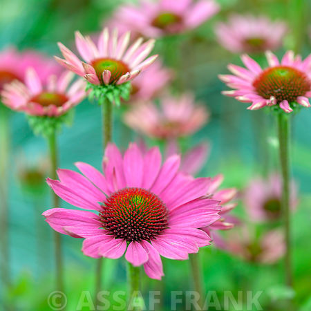 Pink colored Cone flowers