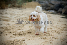 Maltese Cross exploring on a sandy beach