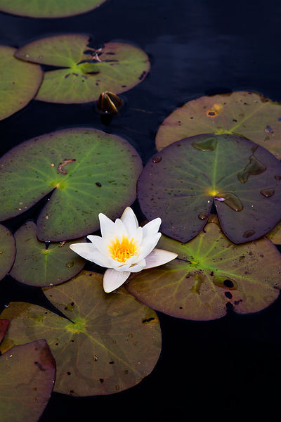White Water-Lily