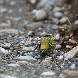 Male Black-Chinned Siskin (Carduelis barbata) displaying, Chiloe Island, Chile