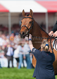 Head shot of  Tamarillo as he is retired at Badminton Horse Trials 2011
