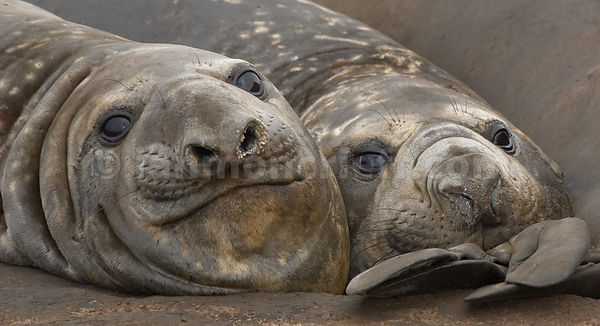 Elephant Seals at Kelp Point