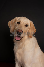 Portrait of young yellow labradoodle dog