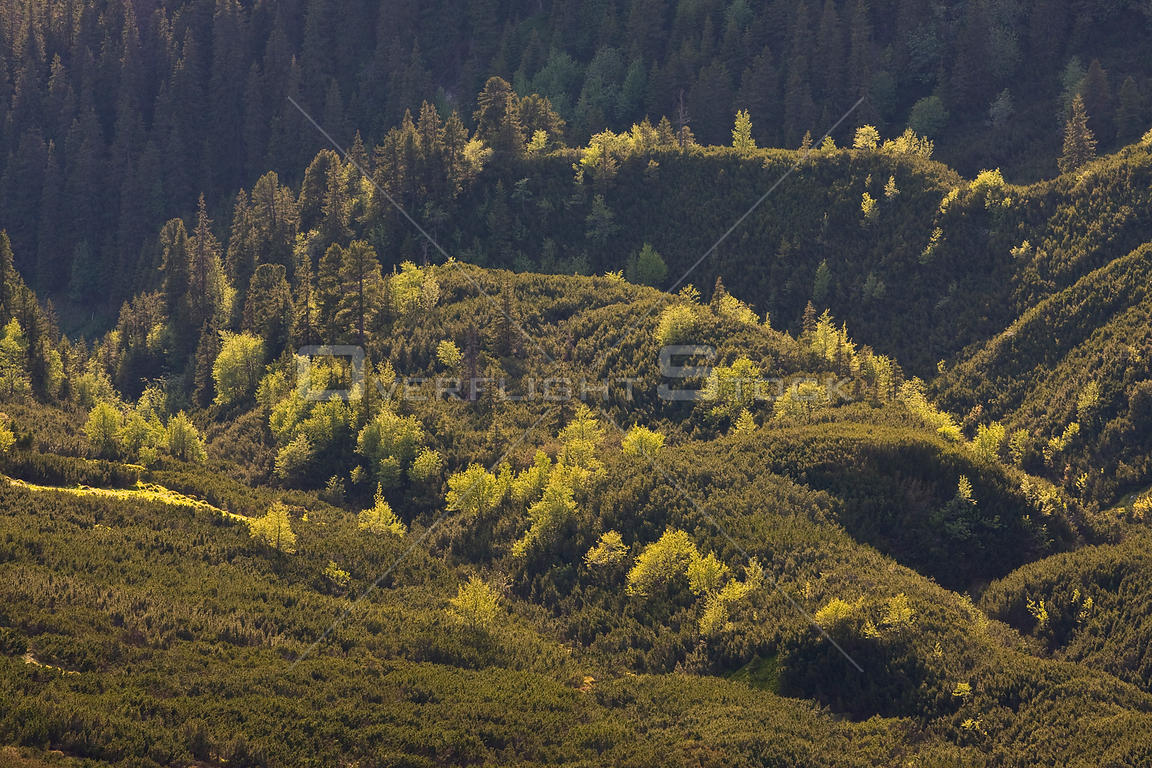 Border between mountain forest with Norway spruce (Picea abies) Mountain ash / Rowan (Sorbus aucuparia) and Arolla pine (Pinu...