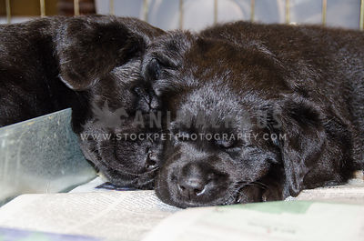 two black lab pupies sleeping nose to nose on newspaper