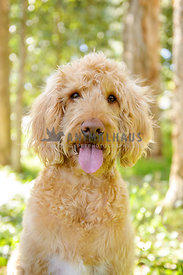 Fawn Labradoodle sitting in woods and smiling