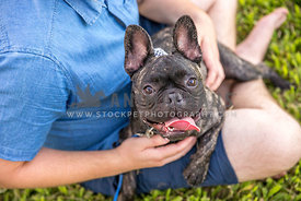 Frenchie on his owners lap