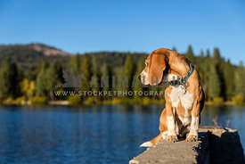 beagle looks over lake