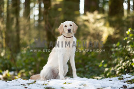 Portrait of young labradoodle dog in forest