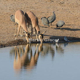 Two female Black-Faced Impala (Aepyceros melampus petersi) drinking from Chudob waterhole, with Helmeted Guineafowl and Cape ...