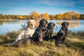 Five black Labrador and one eyllow Labrador retriever dogs on stays in front of pond with gold trees and blue skies