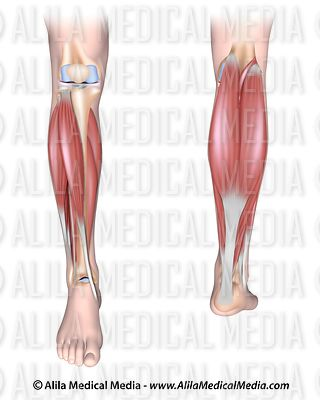 Lower leg muscles unlabeled