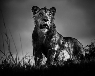 9064-Lion-Rebel_without_a_cause_Kenya_2014_Laurent_Baheux
