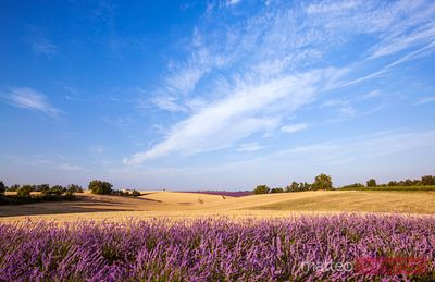 Landscape: field with lavender in the french countryside