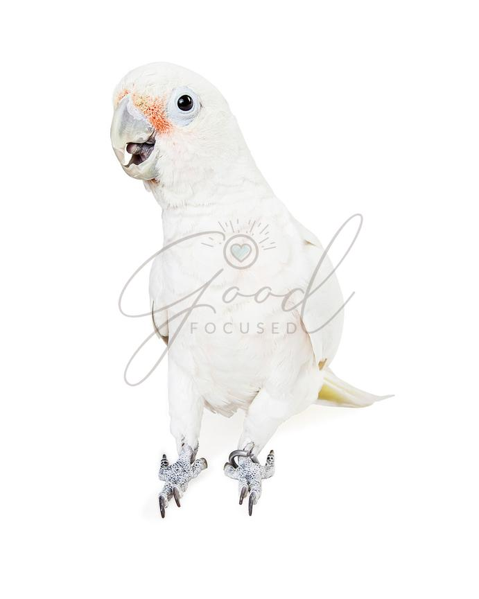 Pretty Goffin's Cockatoo Bird on White