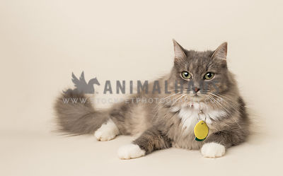 rescue long hair cat before bone background