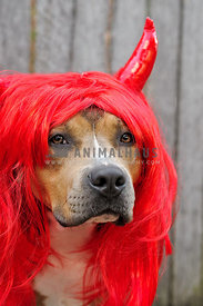 Sable Amstaff in front of wooden fence wearing a red devil wig with horns
