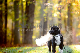 portuguese  water dog in woods with breath