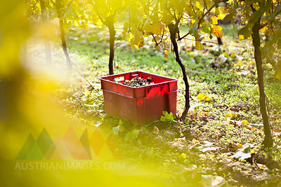 Croatia, Baranja, Container with grapes in vineyard