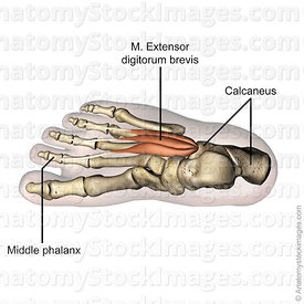 foot-musculus-extensor-digitorum-brevis-muscle-middle-phalanx-calcaneus-top-view-skin-names