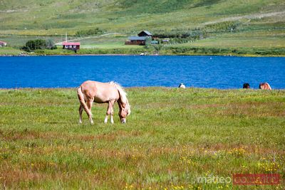 Icelandic horse in a green meadow in summer, Iceland