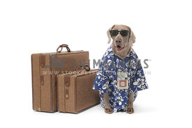Gray weimaraner with vacation luggage on white background