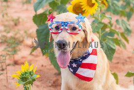 golden retriever wearing July 4th sunglasses and bandana