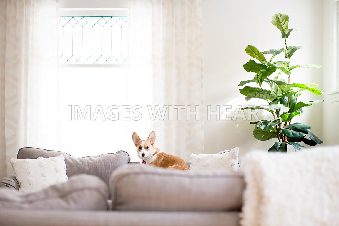 corgi_laying_on_couch
