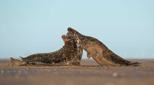 Grey Seals Fighting