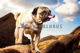 a pug dog sticks his tongue out in the desert
