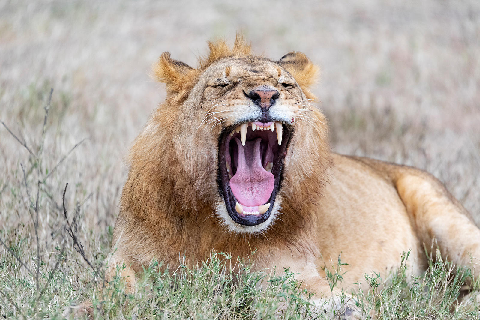 Portrait of a Young Male Lion Yawning