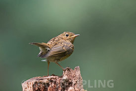 European Robin Erithacus rubecula juvenile recently fledged Norfolk August