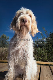 Low angle of calm and friendly spinone italiano dog sitting on the wooden dock outside facing forward.