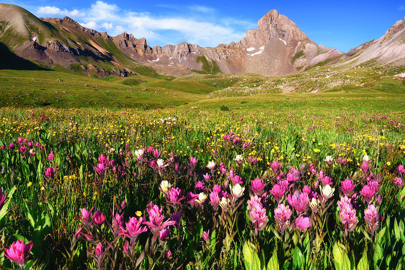 Wetterhorn Basin Wildflowers