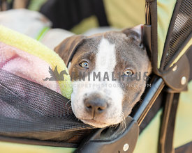 Young pitbull mix puppy in a stroller
