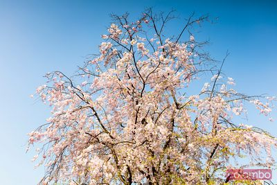 Cherry tree in full bloom, Kyoto, Japan