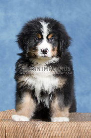 Cute fluffy Bernese Mountain Dog puppy sitting up posing