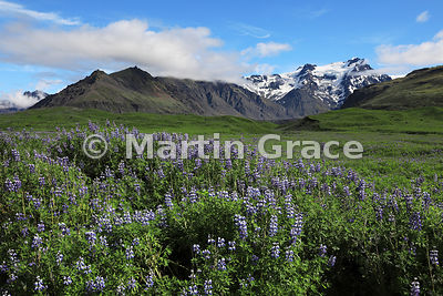 Nootka (Alaskan) Lupins (Lupinus nootkatensis) with glacial landscape of Skaftafell National Park, from Road 1 at 16º54' W, S...