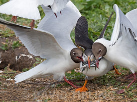 Puffin Fratercula arctica with a beakful of fish being robbed by Black-headed Gulls as it returns to breeding colony on Inner...