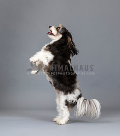 dog standing on hind legs in gray studio looking up