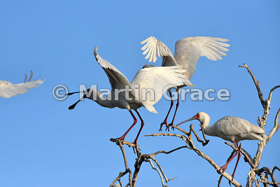African Spoonbills (Platalea alba) seeing off another bird that had encroached too close to their family group, River Chobe, ...
