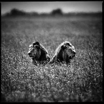 4244-Two_lions_in_the_flowers_Laurent_Baheux