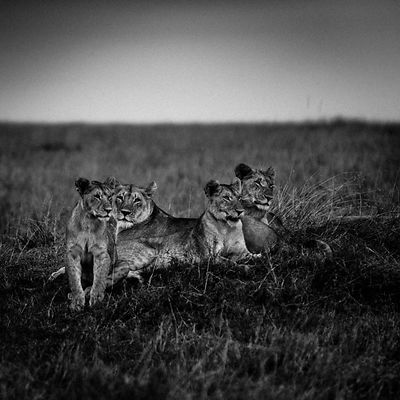 5285-Lionesses_in_the_plain_Laurent_Baheux