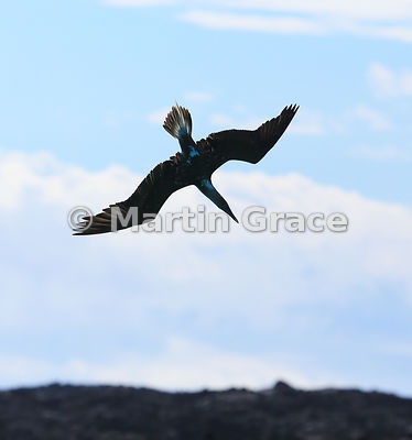 Flying Blue-Footed Booby (Sula nebouxii excisa) starting to dive, Sombrero Chino, Santiago, Galapagos Islands