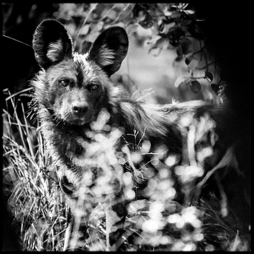 7603-Wild_dogs_Laurent_Baheux