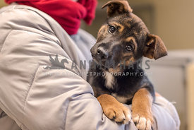 Shepherd mix shelter puppy held in the arms of a volunteer.