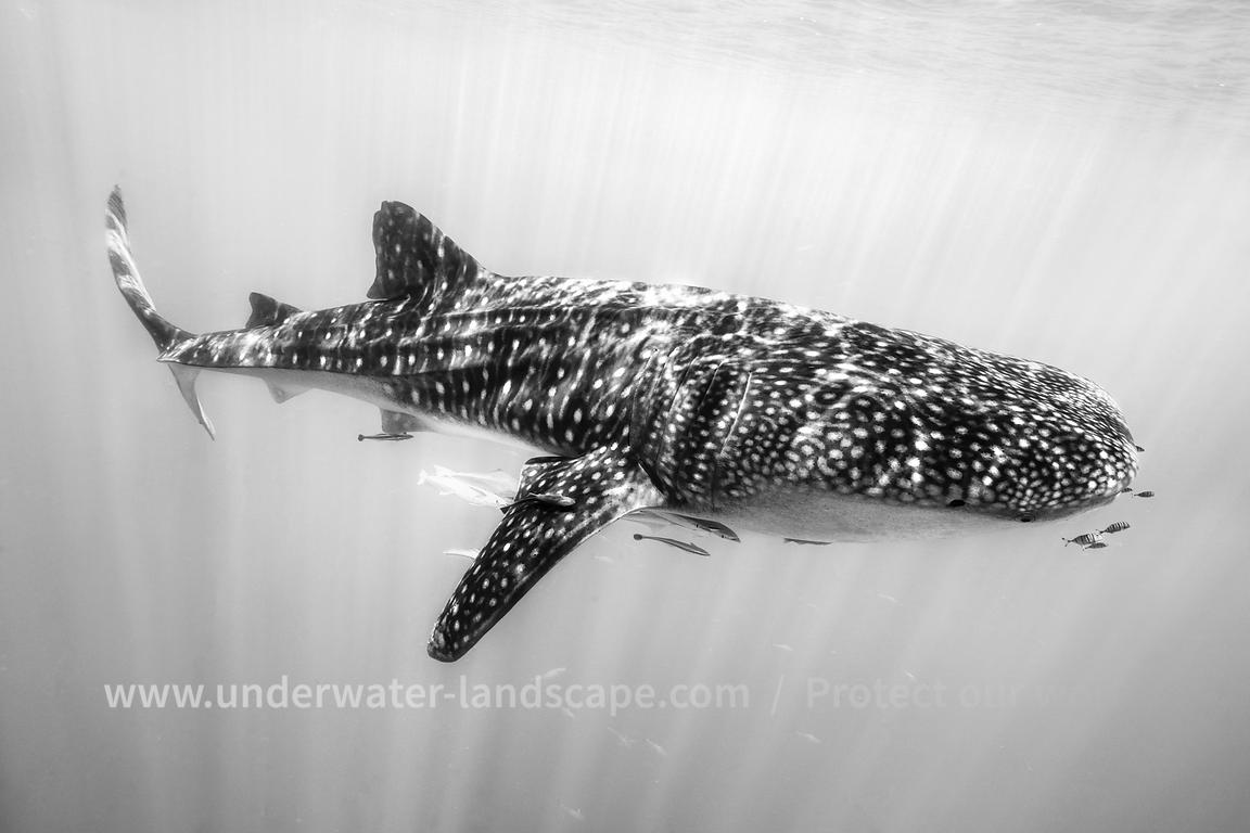 Black and whit whale shark