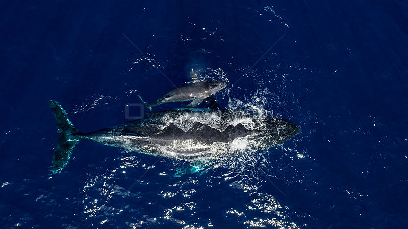 Humpback Whale (Megaptera novaeangliae) and calf off Walpole Island, New Caledonia. .