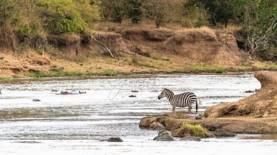 Zebra on Mara River Bank With Hippos