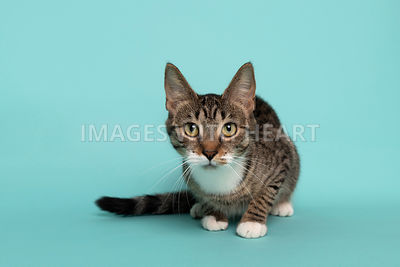 Crouched tabby cat looking attentively at camera